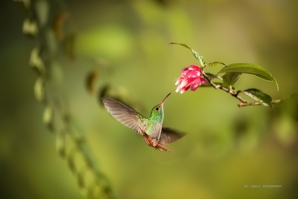a rufous-tailed hummingbird pollinates a tropical blueberry flower in a Costa Rican cloud forest