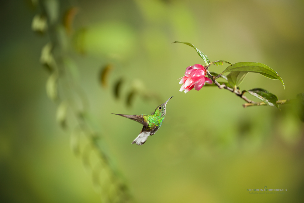 a coppery-headed emerald pollinates a tropical blueberry flower in a Costa Rican cloud forest