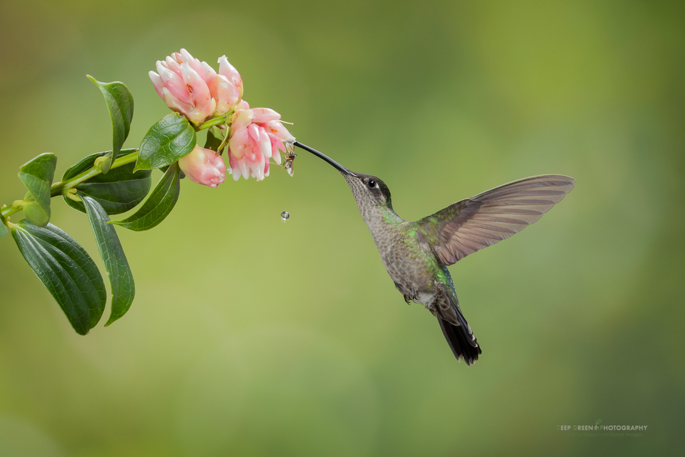 a female magnificent hummingbird visits a tropical blueberry flower in the cloud forest of the Talamanca mountain range