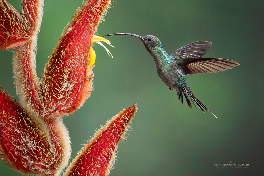 a male green hermit visits a Heliconia flower