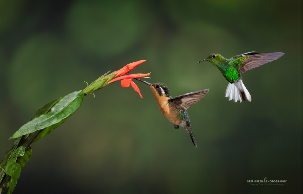 a purple-throated mountain gem and a coppery-headed emerald show interest in the same cloud forest flower