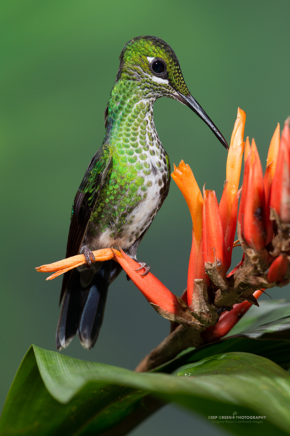 green-crowned brilliant hummingbird visits a cloud forest bromeliad
