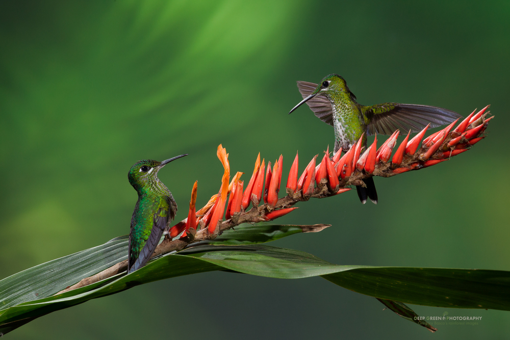 green-crowned brilliant hummingbirds visit a cloud forest bromeliad
