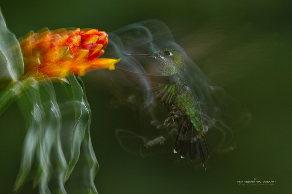 Green-crowned brilliant hummingbird pollinating Costus flower in a Costa Rican cloud forest, in-camera motion blur