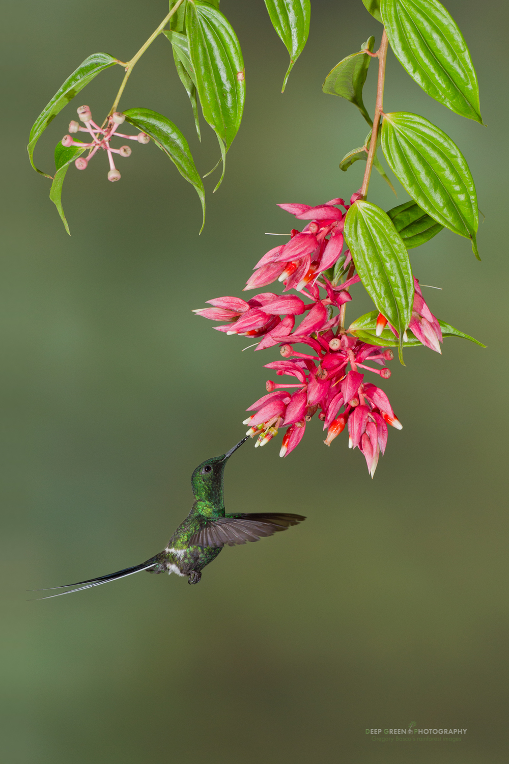 Green thorntail hummingbird pollinating tropical blueberry (Ericaceae family) flowers in a Costa Rican cloud forest