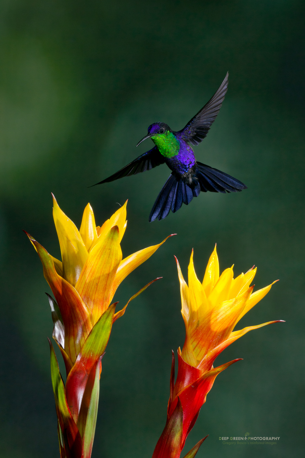 A male violet-crowned woodnymph hummingbird pollinates bromeliad flowers in Costa Rica