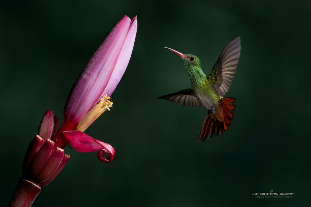 A rufous-tailed hummingbird pollinates an ornamental banana flower in a Costa Rican garden
