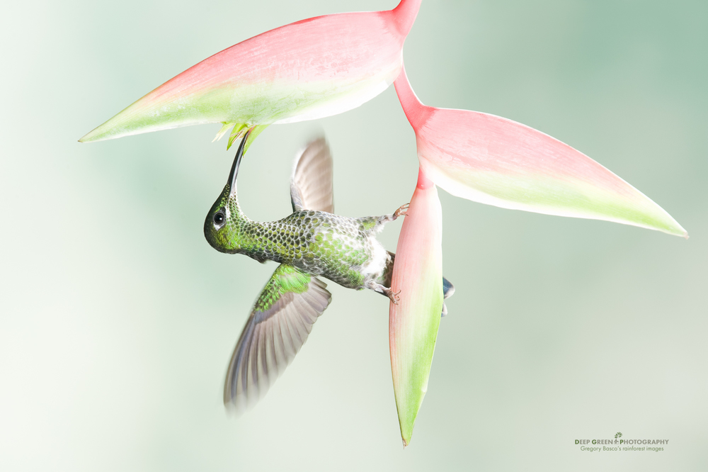 "a green-crowned brilliant visits a ""sexy pink"" Heliconia flower"