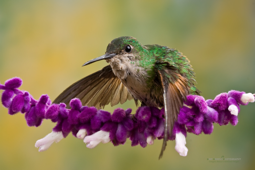 stripe-tailed hummingbird