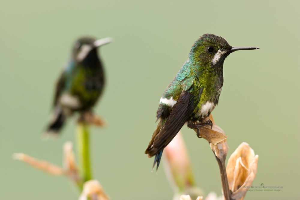 female green thorntails