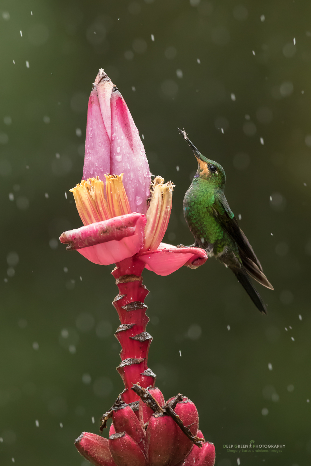 A juvenile male green-crowned brilliant feeds at an ornamental banana flower on the outskirts of a cloud forest in Costa Rica