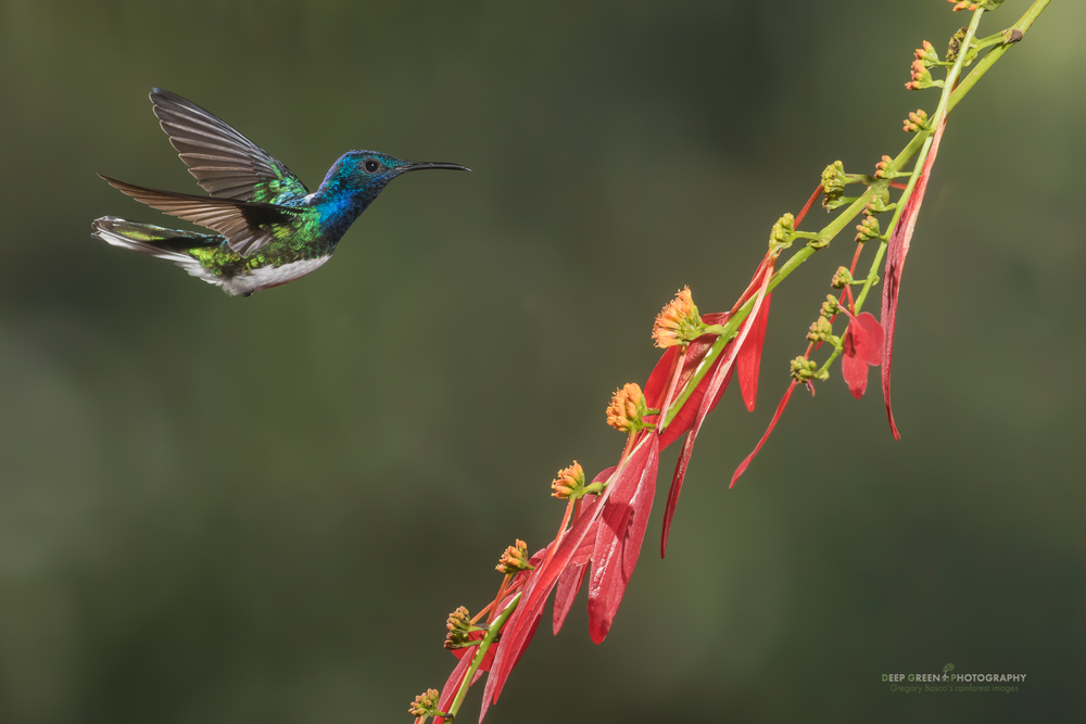 white-necked jacobin visiting rainforest Poinsettia flowers
