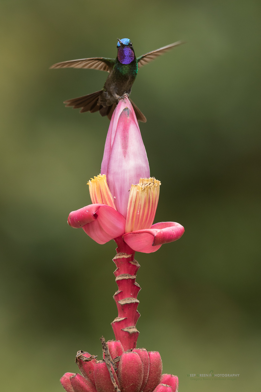 purple-throated mountain gem at ornamental banana flower