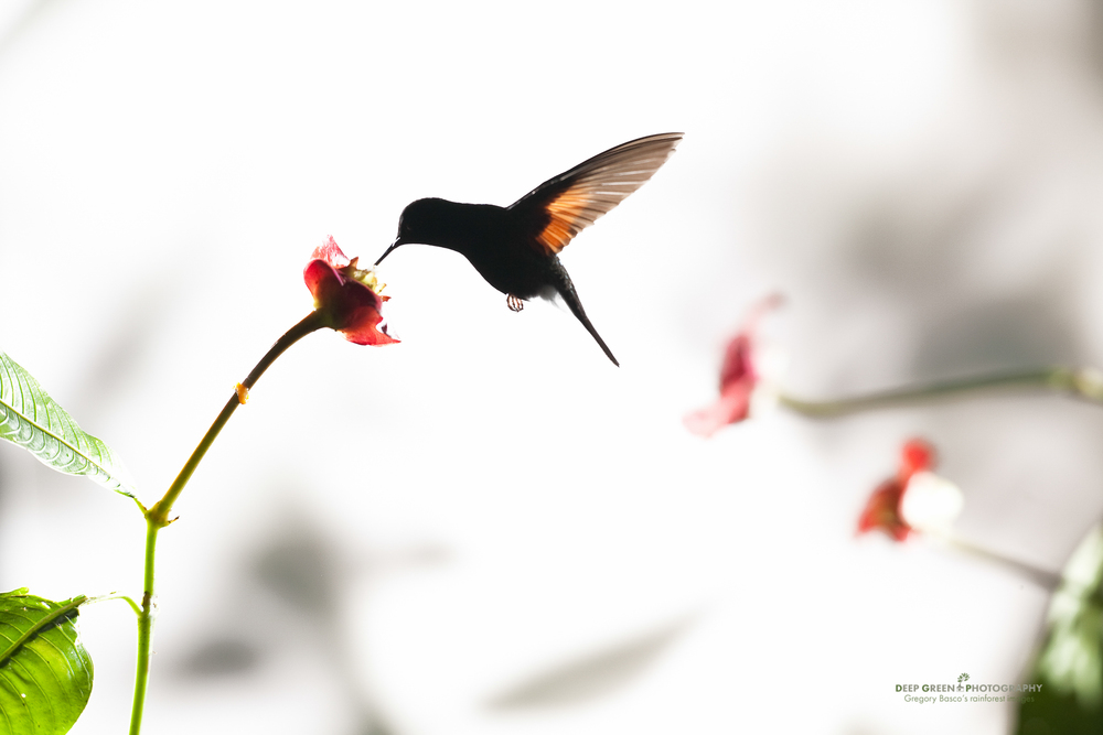 A black-bellied hummingbird pollinates a hot lips flower in a misty highland cloud forest