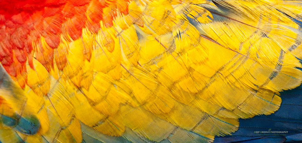 closeup of scarlet macaw feathers