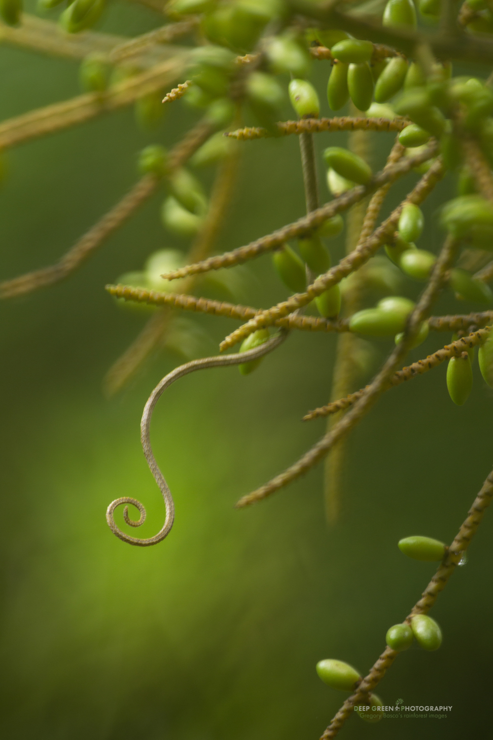The tail of a canopy lizard (Polychrus gutturosus) pokes out from palm tree fruits in a lowland rainforest on the Caribbean slope of Costa Rica.