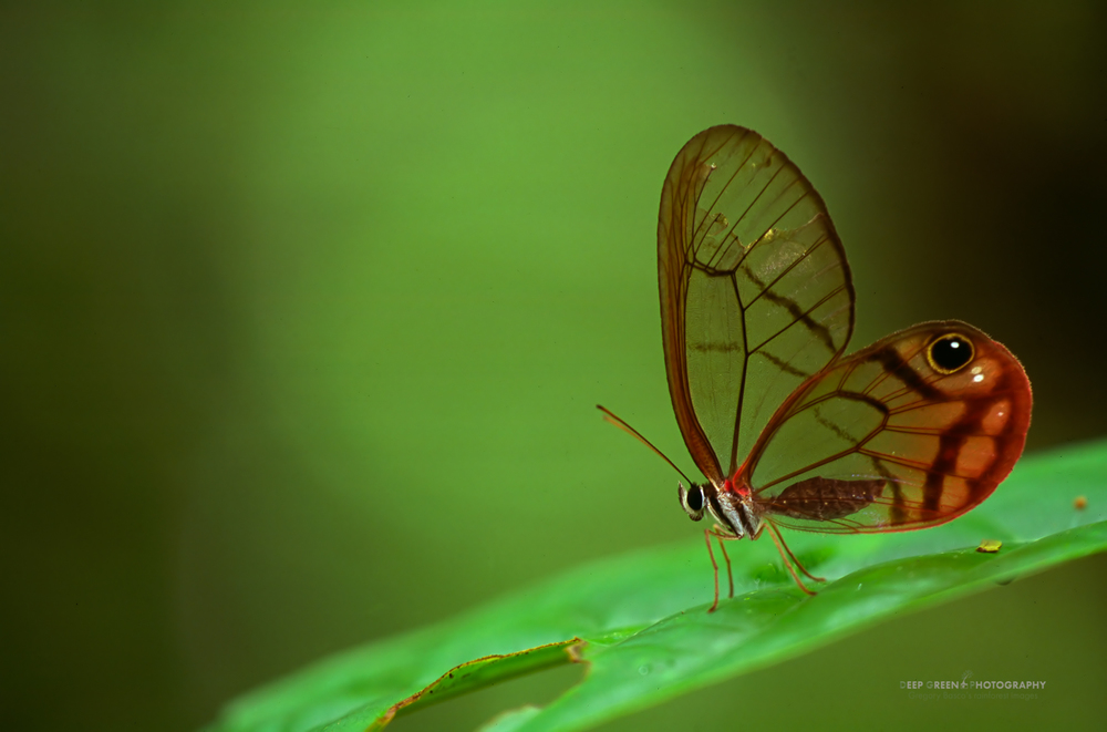 glasswing butterflies hide from predators by being transparent