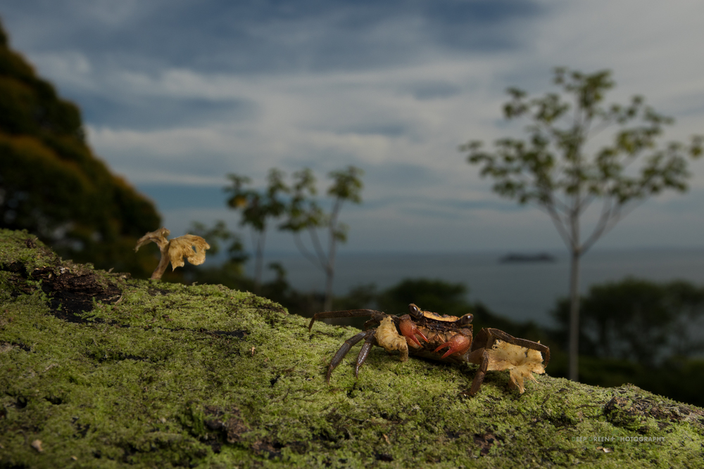 an arboreal forest crab on a mossy branch in rainforest overlooking the Pacific Ocean in Costa Rica