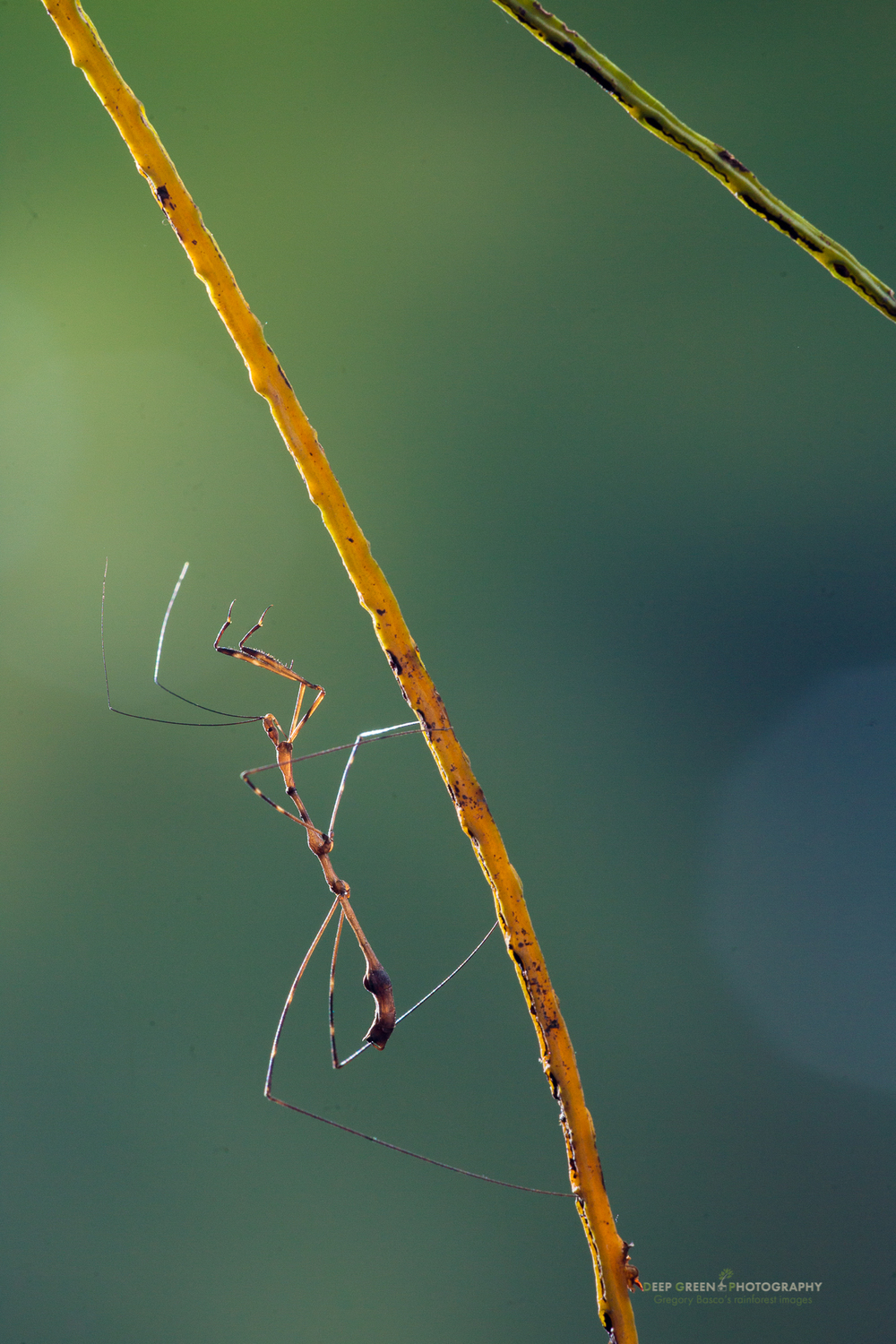 a Phasmid (walking stick) baby on a rainforest stem