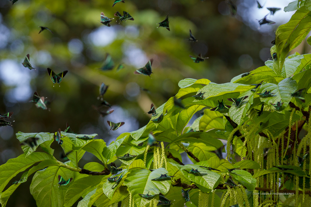 Urania moths feed from a tree in Tortuguero National Park
