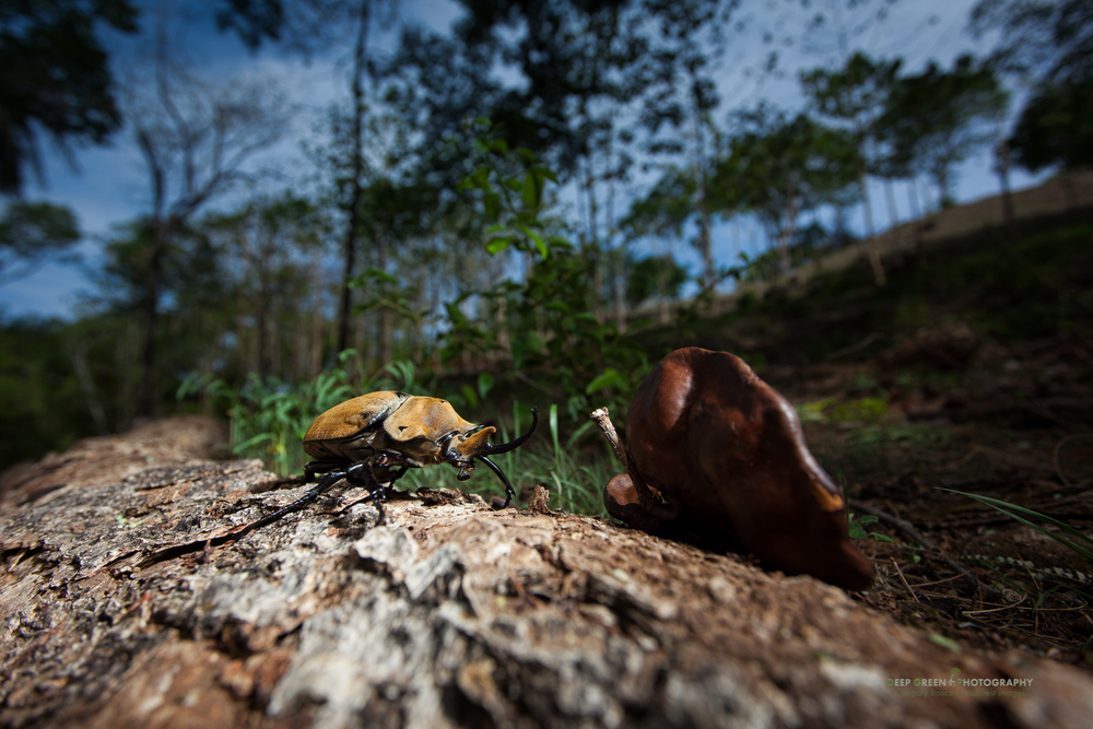 a rhinoceros beetle in a Costa Rican tropical dry forest