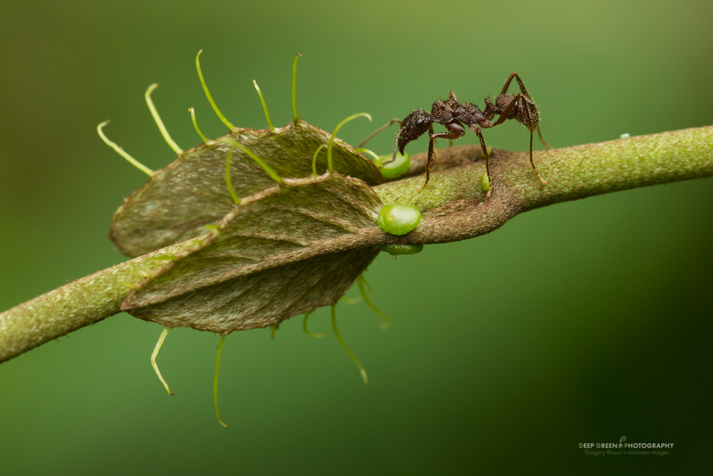 Many rainforest plants gain protection against predators from ants. The plants produce extrafloral nectary glands, which the ants use as a food source. In turn, the ants protect the plant from caterpillars and other predators that would eat the leaves and stems of the plant. These ants are drinking from extrafloral nectary glands of a vine in a Costa Rican lowland rainforest.