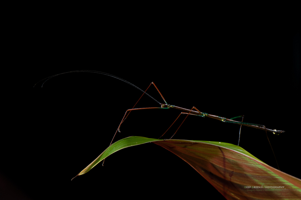 I photographed this psychadelic walking stick (a Phasmid insect that I've not been able to identify) at night in a cloud forest near the Tenorio Volcano National Park. Some estimates claim that Costa Rica may harbor upwards of half a million species of invertebrates; this is certainly one of the more striking species.