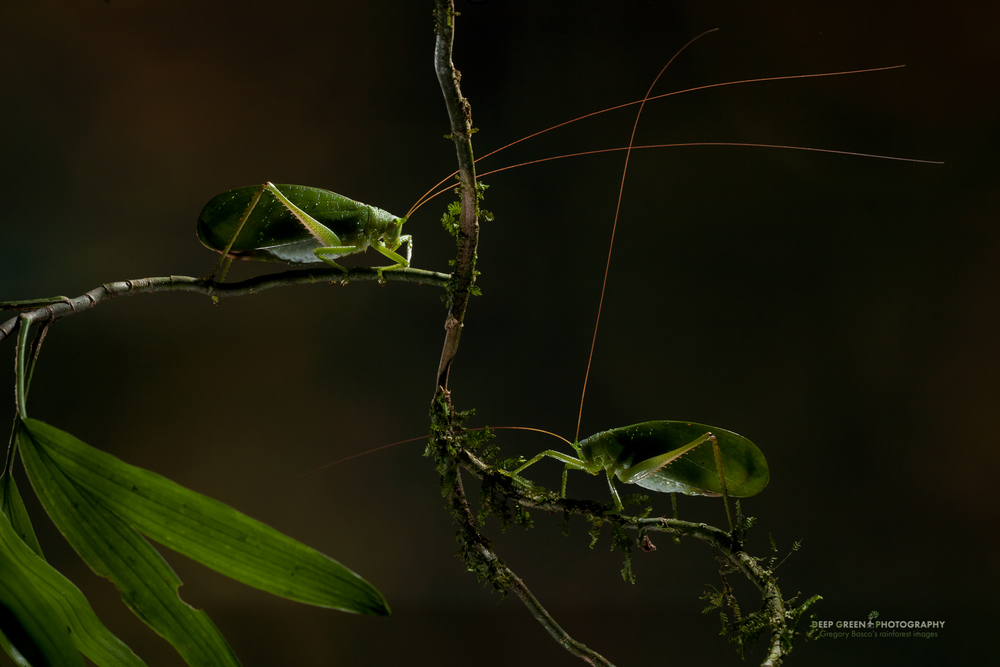katydids in a forest near Tenorio Volcano National Park