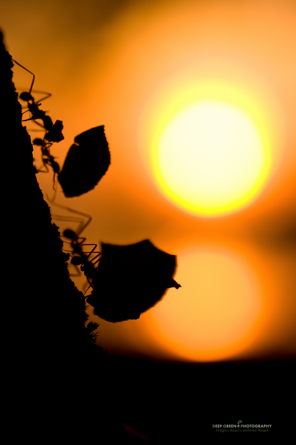 leafcutter ants work as the sun sets over the Pacific Ocean