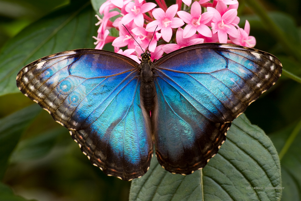 Blue morpho butterfly (Morpho sp.), Costa Rica