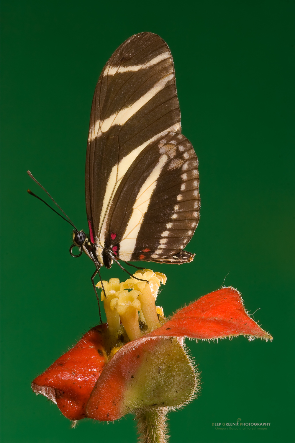 Zebra longwing butterfly (Heliconius charitonius) on Hot Lips flower, near Arenal Volcano NP, Costa Rica