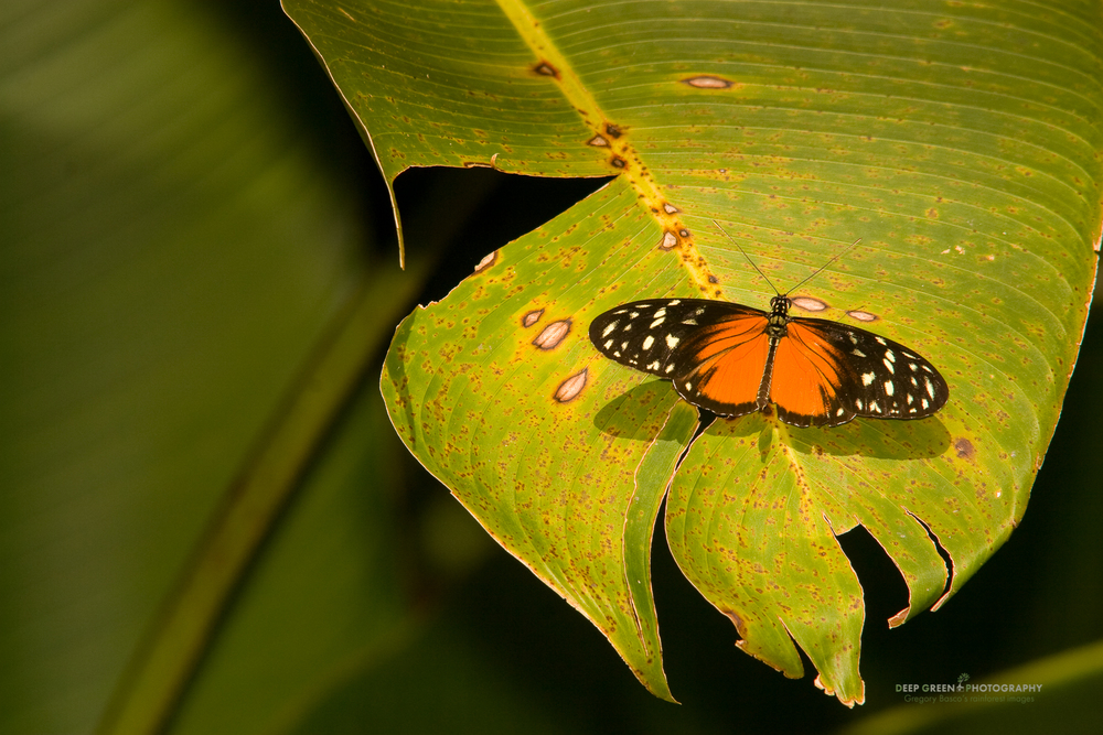 Passionflower butterfly (Heliconius hecale) on Heliconia leaf, Costa Rica