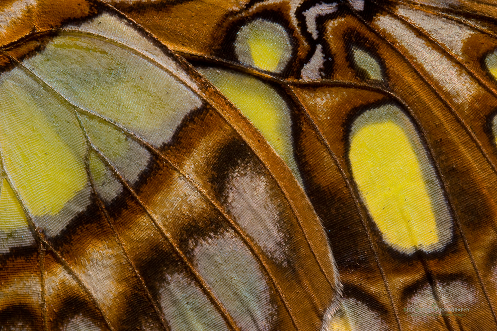 closeup of Siproeta butterfly wing, near La Fortuna, Costa Rica