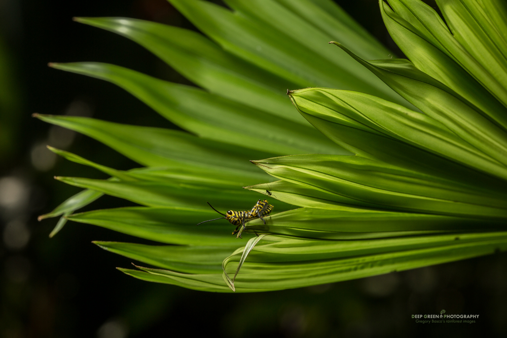 a bizarre grasshopper on a panama hat palm leaf on Costa Rica's sourthern Pacific coast
