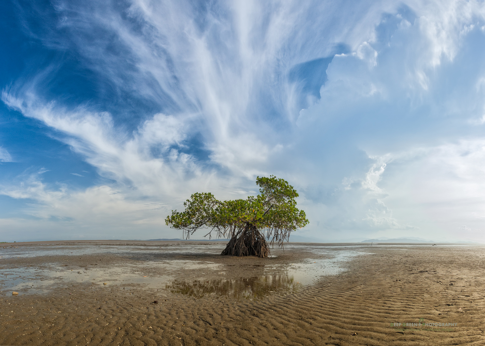 a mangrove tree at low tide on a sunny afternoon near where the Tempisque River empties into the Gulf of Nicoya