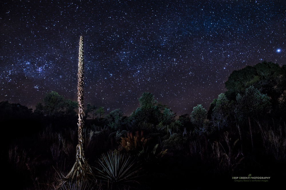 a Puya bromeliad stands out against a starry sky in a highland bog at 10,000 feet on a cold night in Tapanti National Park
