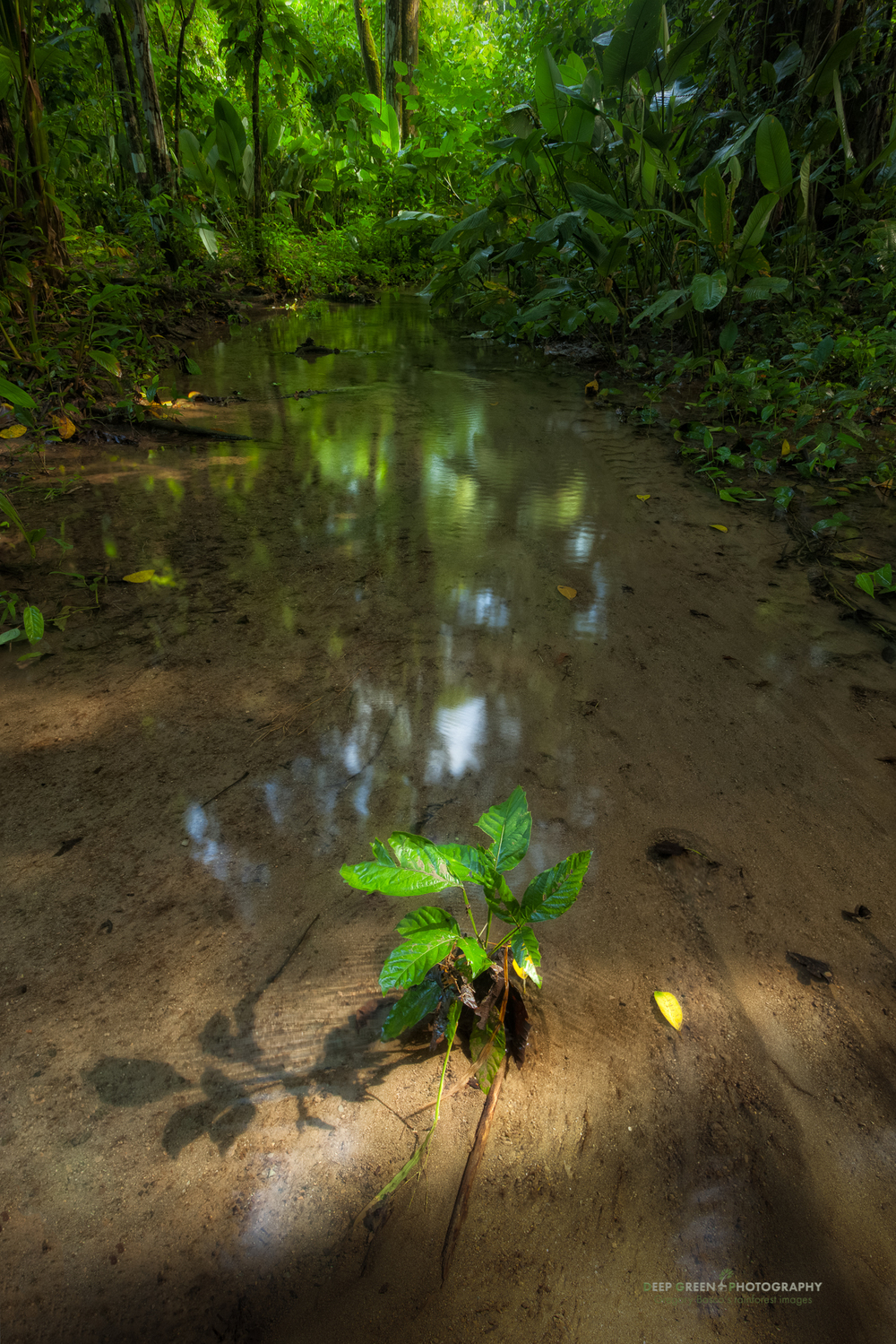 a tree begins to grow in a meandering stream in Corcovado National Park