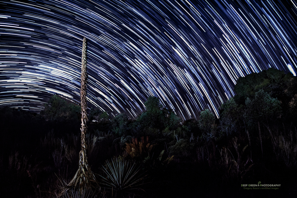 A long exposure produced star trails as a Puya bromeliad stands out against a starry sky in a highland bog at 10,000 feet on a cold night in Tapanti National Park