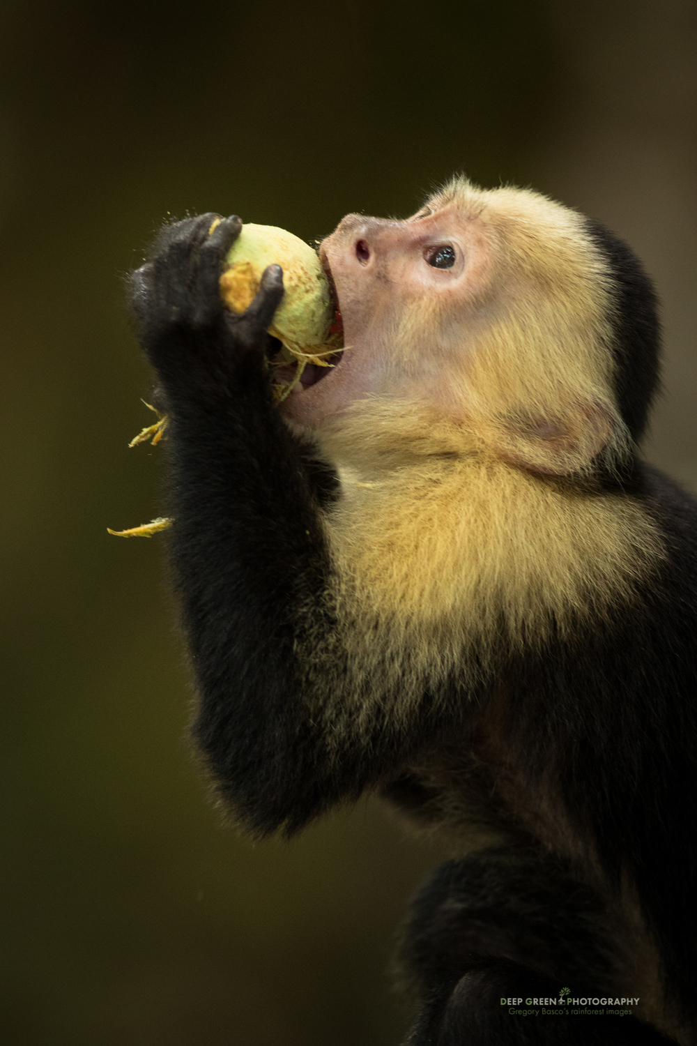 a white-faced capuchin monkey eats the fruit of a Panama tree (Sterculia sp.) in Manuel Antonio National Park