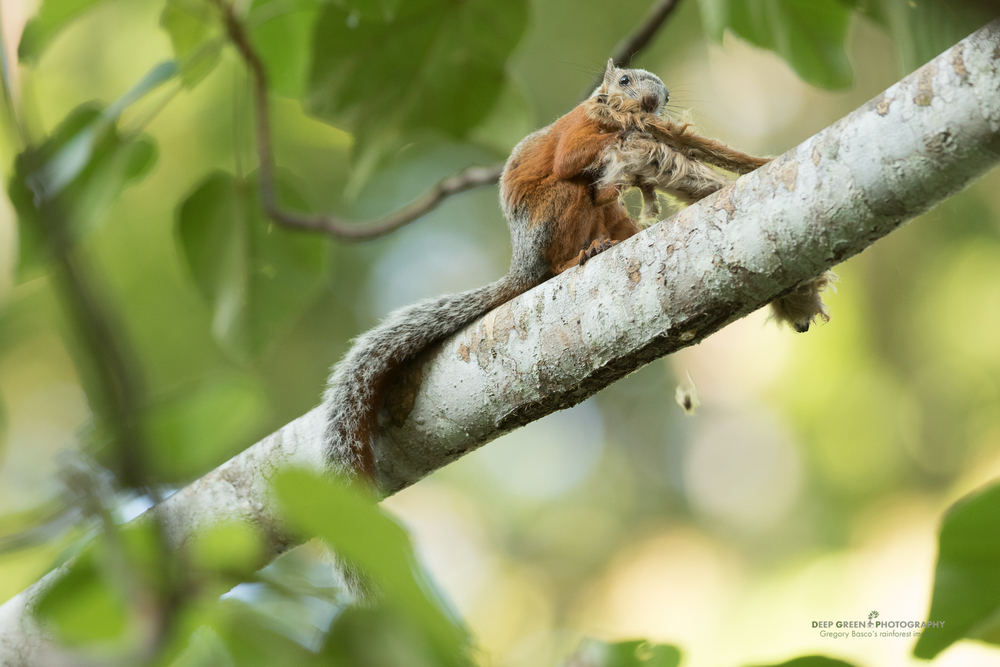 a variegated squirrel eating the seeds of a balsa tree