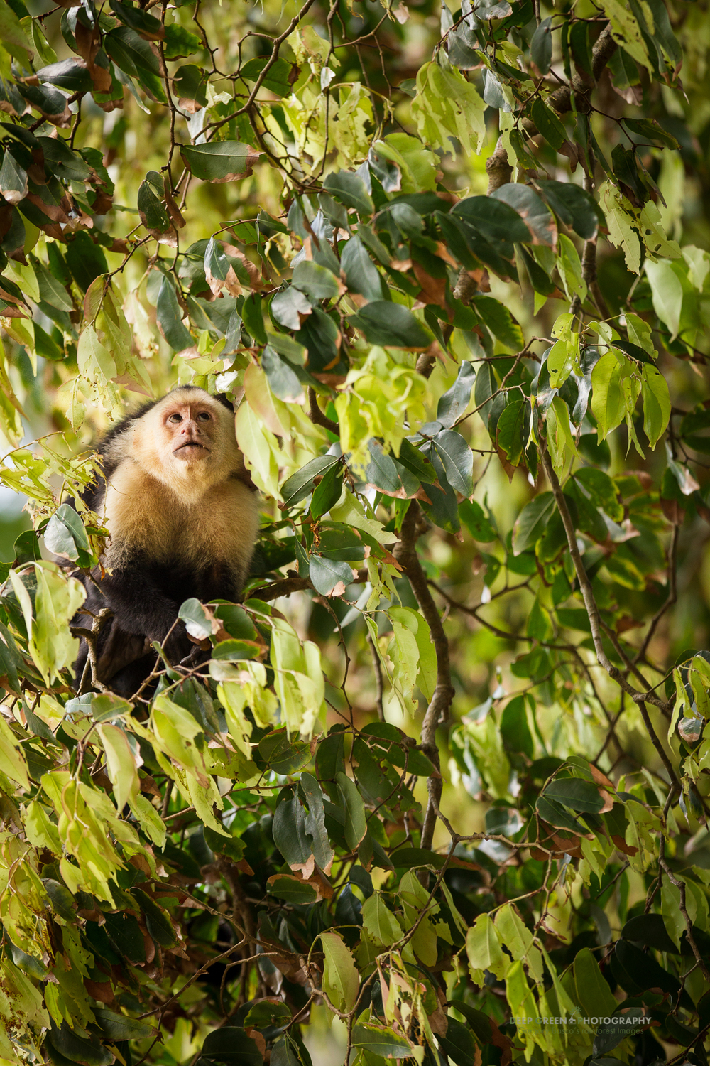 a white-faced capuchin monkey in Manuel Antonio National Park