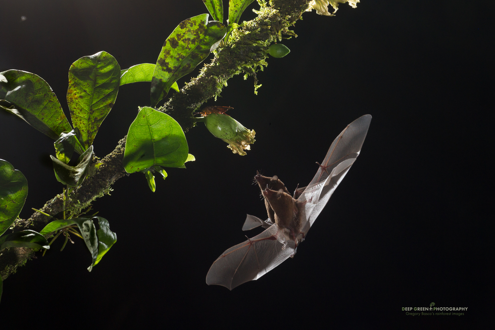 Pallas' long-tongued bats pollinate a Calabash tree flower in a lowland rainforest