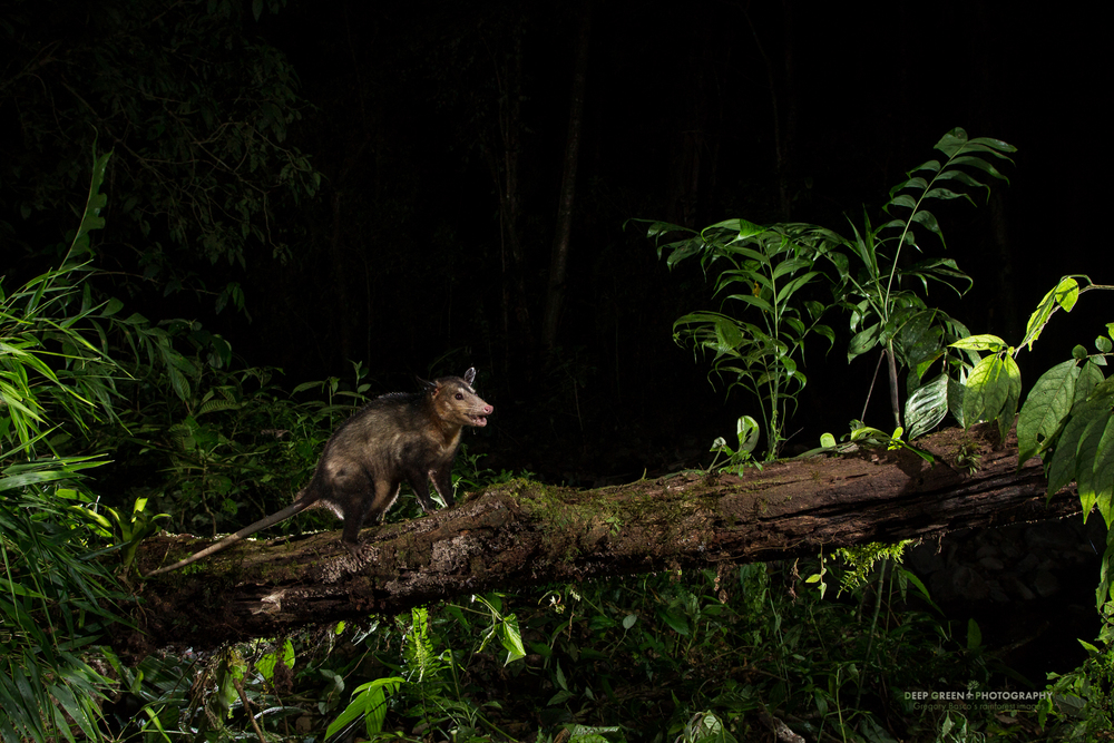 A common opossum captured with a remote camera trap at night in the Bosque de Paz Cloud Forest Reserve