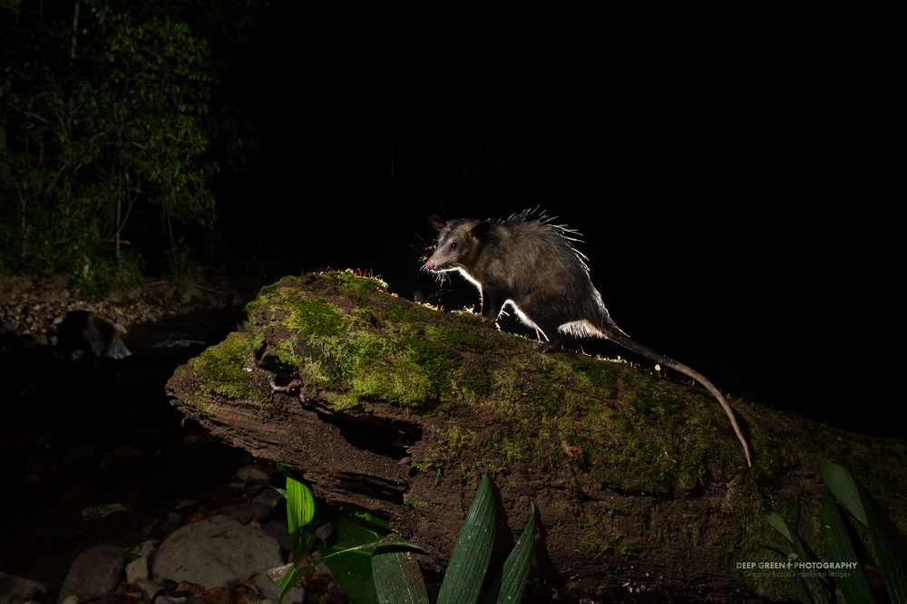 A common opossum eating ants on a tree trunk at night in the Bosque de Paz Cloud Forest Reserve