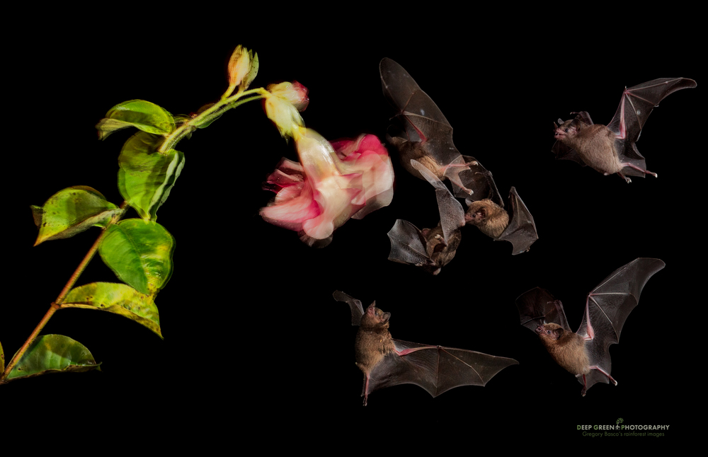 A multiple flash shot of Pallas' long-tongued bats visiting an Allamanda flower