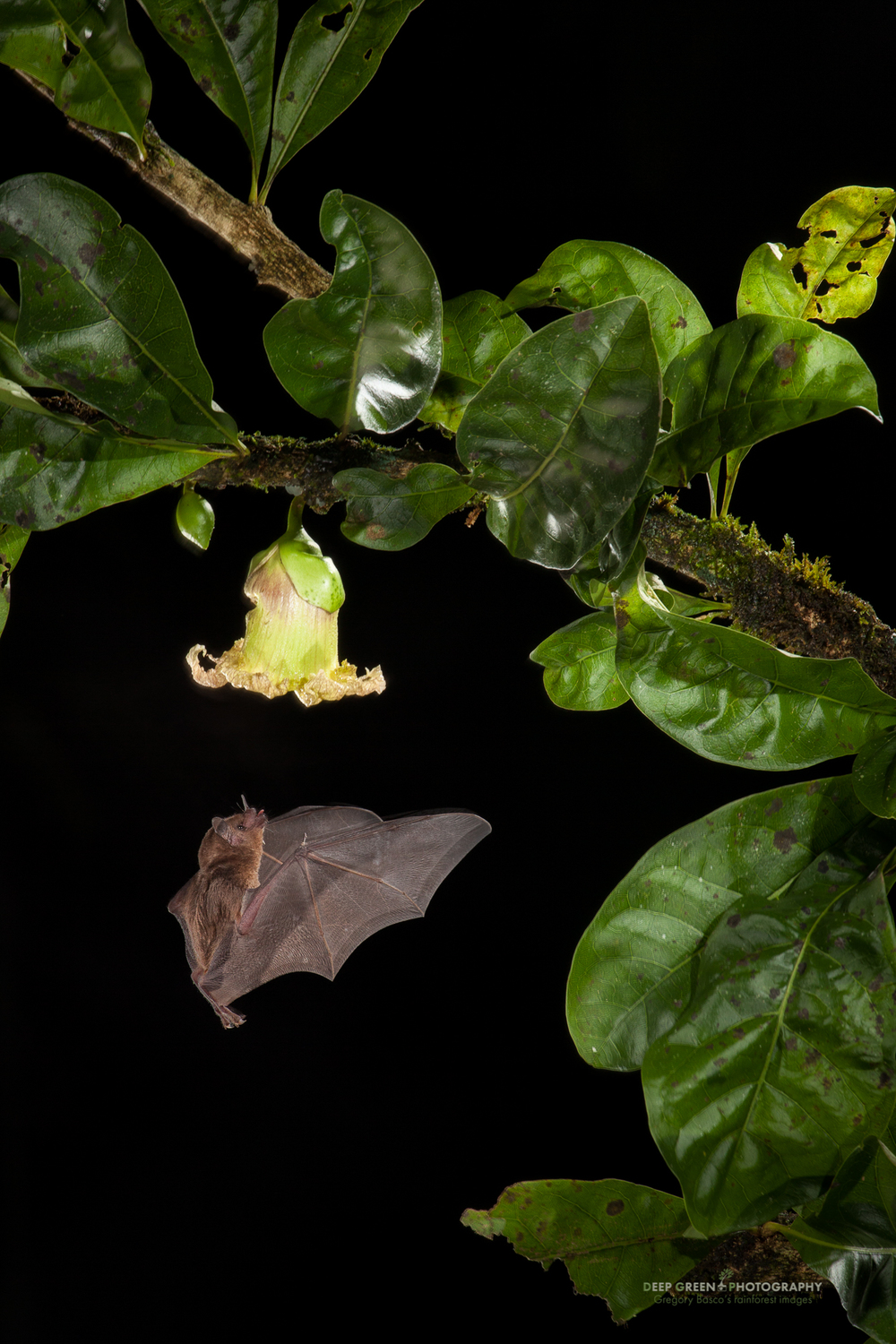 A Pallas' long-tongued bat pollinates a Calabash tree flower in a lowland rainforest