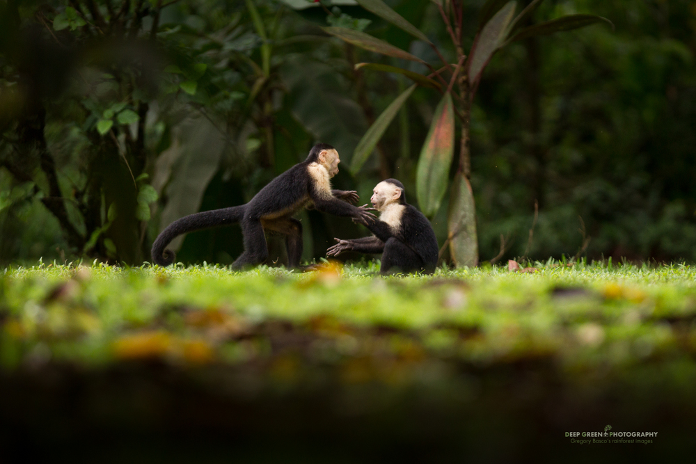 white-faced capuching monkeys tussle at the edge of a canal in Tortuguero National Park