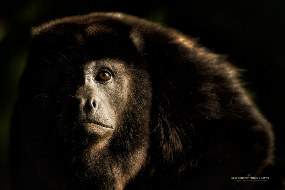 late afternoon light makes for a classic composition with a curious howler monkey