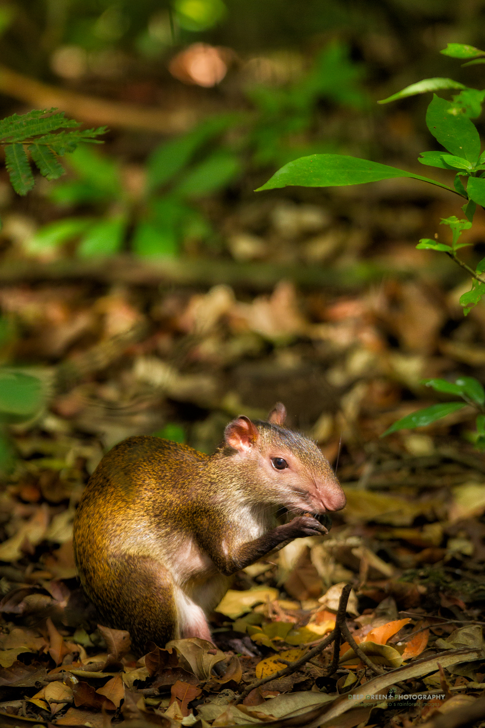 An agouti in Manuel Antonio National Park