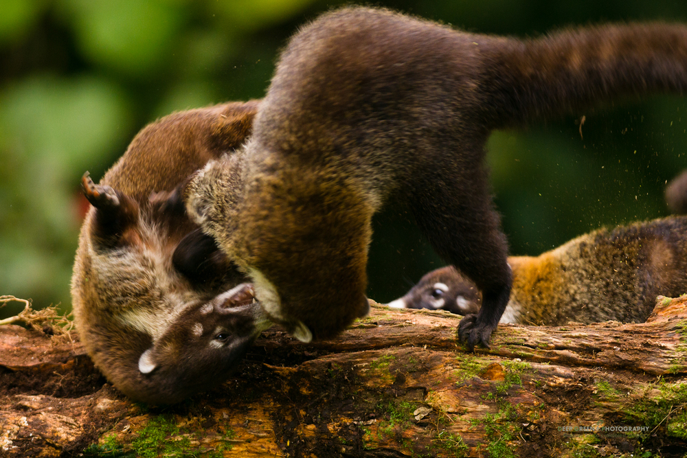 Two coatimundis fight over food in a Costa Rican cloud forest